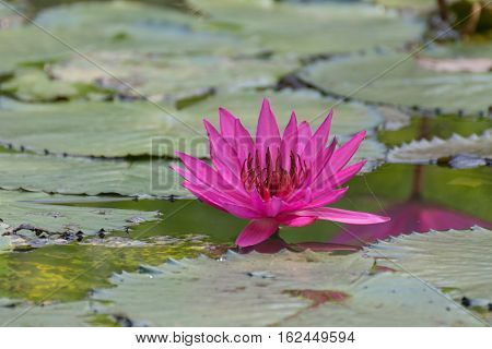 Lotus Flower (lotus Or Nelumbo)