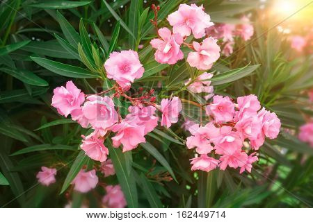 Oleander shrub pink rose flowers with leaves. (Nerium oleander L.)