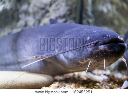 Blue catfish in the aquarium near glass