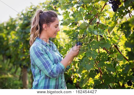 Winegrower woman inspecting grapes in vineyard at summer