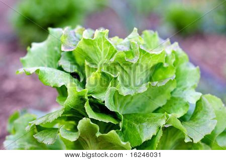 closeup of a lettuce growin in an orchard