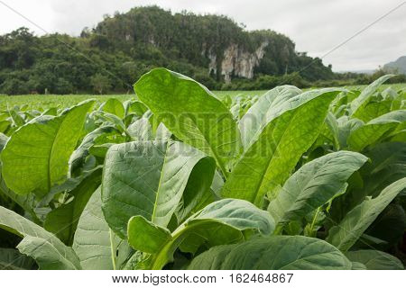 Fresh green tobacco leaves on the field in Vinales Cuba
