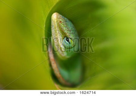 Lizard In Leaf Center