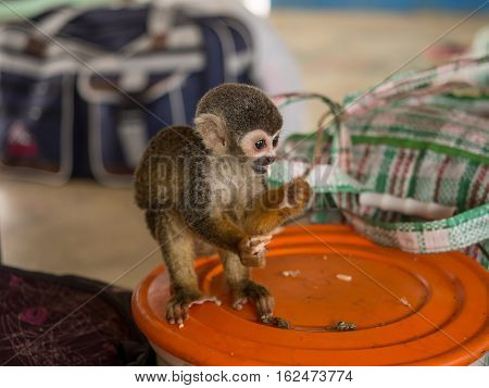 Amazon River Peru - May 13 2016: Samll exotic animal on the deck of cargo boat