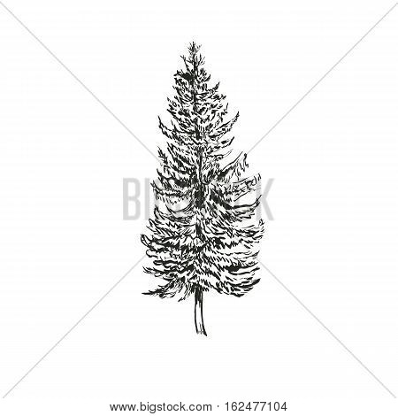 Spruce Fir sketch vector illustration. Picea abies isolated on white background