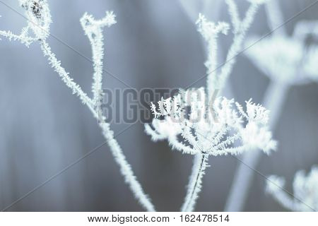 Hoarfrost On Grass. Frosted Grass At Cold Winter Day