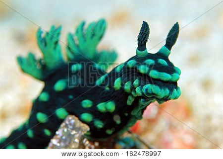 Close-up of a Cristate Neon Slug (Nembrotha Cristata) Padang Bai Bali Indonesia