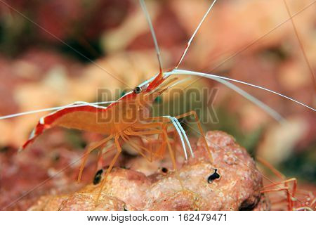 Skunk Cleaner Shrimp (Lysmata Amboinensis aka Scarlet cleaner Shrimp Northern Cleaner Shrimp Pacific Cleaner Shrimp). Padang Bai Bali Indonesia