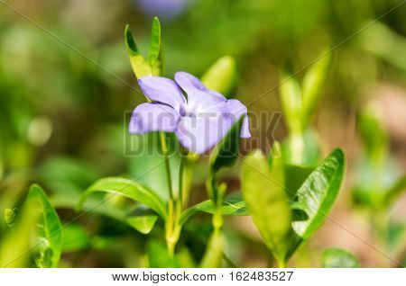 Periwinkle flower growing on the spring meadow