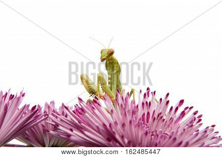 mantis on a flower on a white background