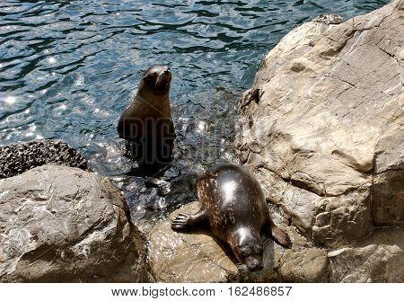Tow Sea lions Latin name zalophus californianus