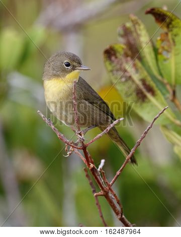 Nashville Warbler In Fall Plumage - Florida