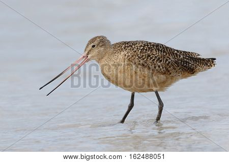 Marbled Godwit Foraging In The Gulf Of Mexico - Florida