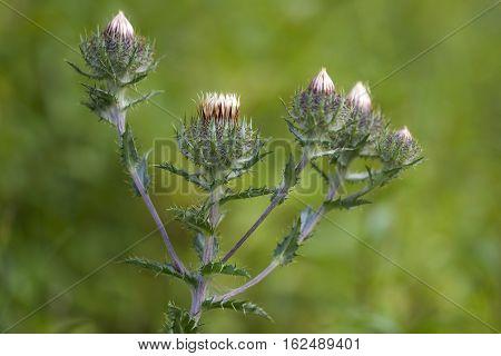 Carline Thistle (Carlina vulgaris) wit five Flower Heads almost flowering