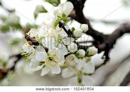 Blossoming plum. Flowering white tree. Bee pollinates flower