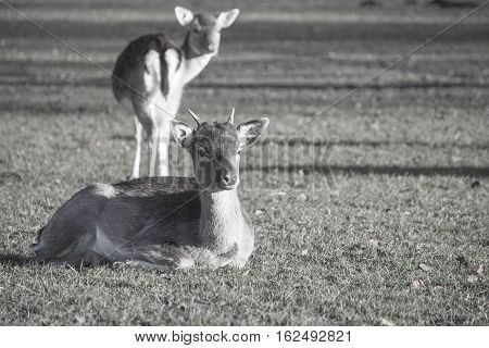 two young deer in bakc and white wone lying and one standing both paying attention to me.