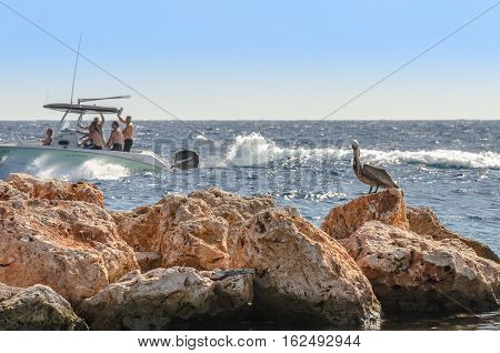 Pelican On A Rock In The Caribbean