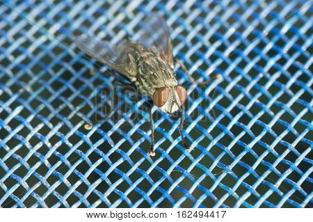 A macro shot of a housefly sitting on a blue net.
