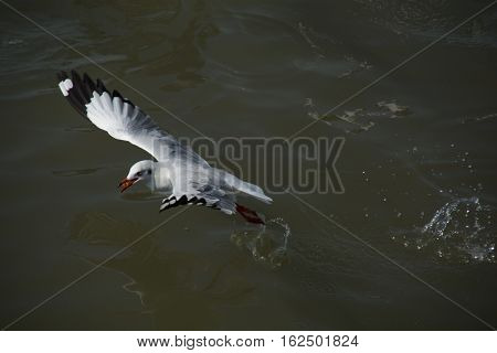 Seagull take off from surface of water with food in its mouth.