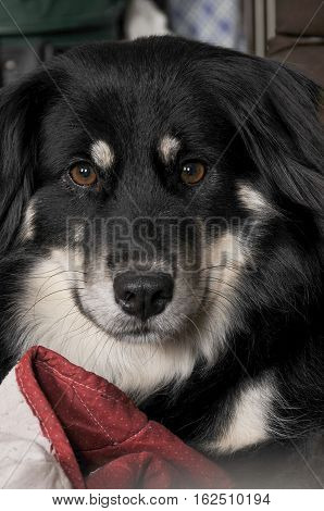 Border Collie Girl