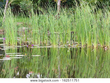 Wild Pond With Waterlily Flowers
