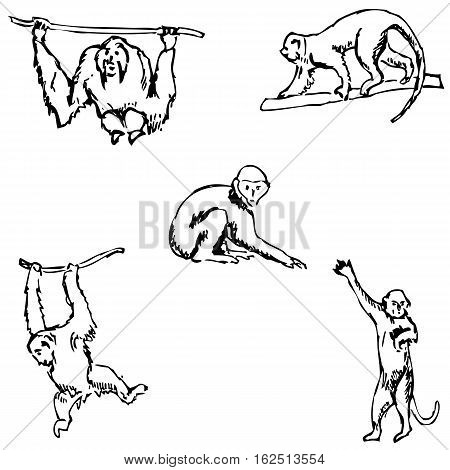 Monkey. A sketch by hand. Pencil drawing. Vector image