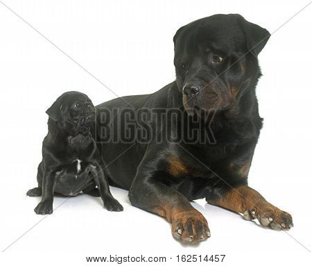 puppy black pug and rottweiler in front of white background