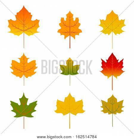 Set of nine red, yellow and green maple leaves isolated on white. Vector maple leaf