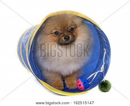 puppy pomeranian dog in tunel in front of white background