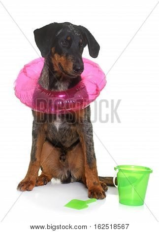 young beauceron in summer in front of white background