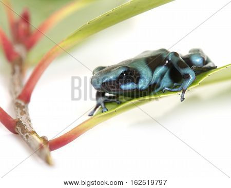 Dendrobates auratus celeste in front of white background