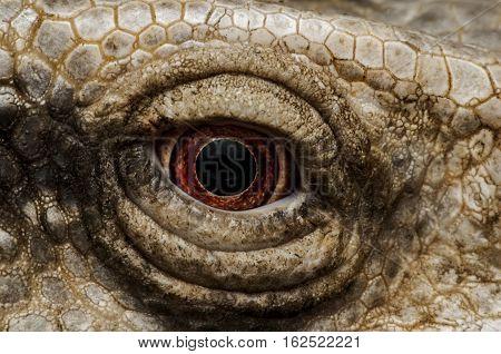 iguana eyes-Closeup portrait of large lizard iguana