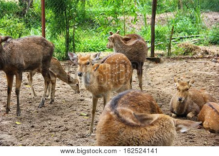 spotted deer in a cage, sandy land, deer beautiful eyes looking with interest at who came to them for feeding
