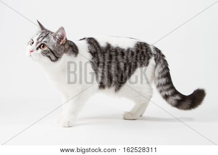 Scottish Straight cat bi-color, spotted, staying four legs against white background, 6 months old.