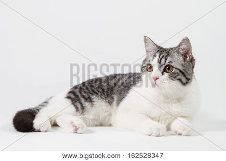 Scottish Straight cat bi-color, spotted, lying against white background, 6 months old.