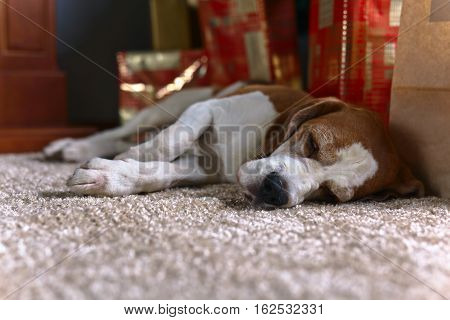 A Lone Beagle On The Carpet With Christmas Gifts In An Empty Room