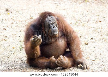 The Bornean orangutan (Pongo pygmaeus) is a species of orangutan native to the island of Borneo. Together with the Sumatran orangutan, it belongs to the only genus of great apes native to Asia. Like the other great apes, orangutans are highly intelligent,