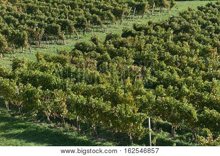 Aerial View Of Green Vineyards In Bordeaux Haut Medoc In France, French Wine