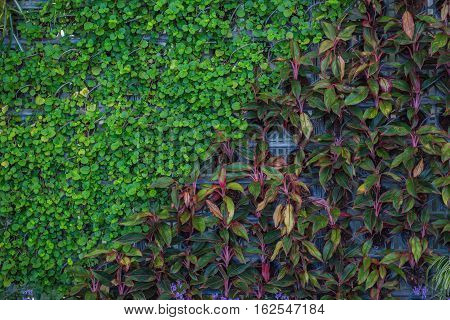 beautiful leaf wall in the garden for background .