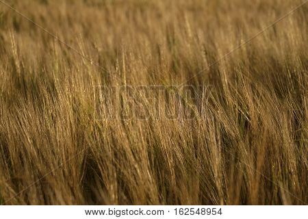 Golden colored wheat in the fields landscape background