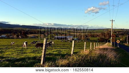 Cows on the farm in Shoalhaven South Coast NSW Australia