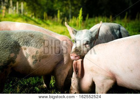 piglets eating outside in the green grass