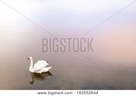 Beautiful swan in the water. Romantic mist