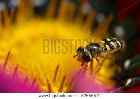 The little hairy wasp on a flower collecting nectar on a sunny summer day