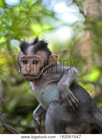 baby macaque in the jungles of Sumatra