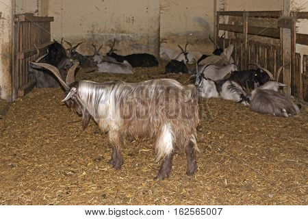 a mutton with big horns in a farm
