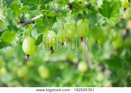 Fresh Green Gooseberries On A Branch Of Gooseberry Bush Close Up. In The Fruit Garden