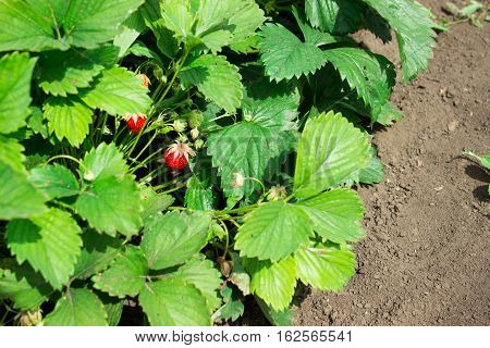Strawberries On A Strawberry Plant On A Strawberry Plantation