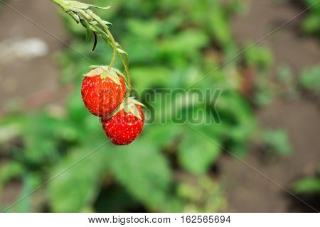 Red Fragaria Or Wild Strawberries, Wild Strawberry. Growing Organic Wild Strawberry.