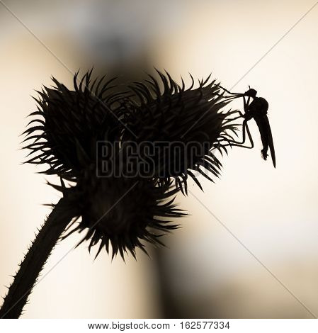 Background With Thistle And Insect In Black And White. Insect Over Thistle  - Isolated And Black Sil